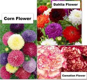 Combo Offer 3 Flowers Seeds for Home Garden (Carnation, Dahlia  Corn Flower) 40 Seeds per Packet (Total 120 Seeds)