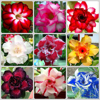 Desert Rose Seeds Adenium Obesum Flower Seeds 30 seeds