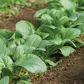 Palank Spinach Seeds Good Quality (10gm)