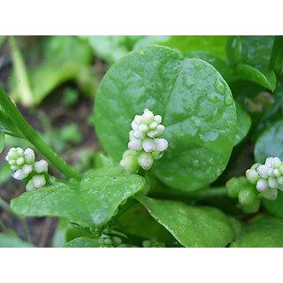 Pui Malabar Spinach Seeds (10gm)