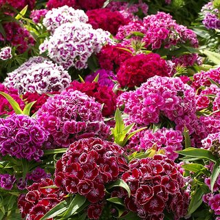 Seeds Sweet William Mixed-colour Flower R-DRoz Quality Seeds