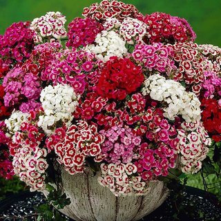 R-DRoz Sweet William Mixed-colour Flower High Germination Flowers Seeds