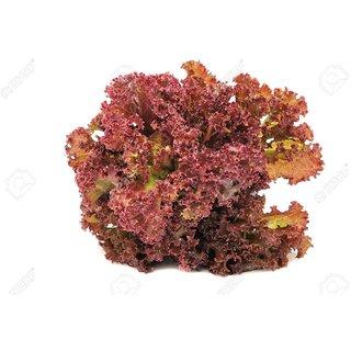 Lettuce Red Leaf Quality Seeds