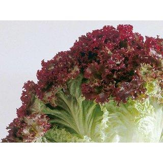 R-DRoz Seeds Lettuce Red Leaf Peremium Hybrid Seeds For Kitchen Garden