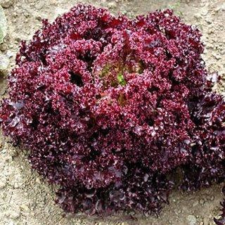 R-DRoz Red Lettuce R-DRoz Vegetables Seeds
