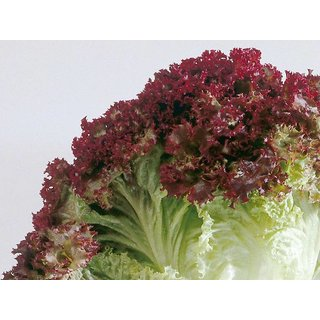 R-DRoz Seeds Lettuce Red Multi-x Quality Seeds For Kitchen Garden