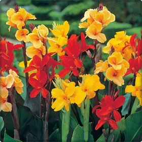 Azalea gardens 20 seeds MIXED CANNA LILY Generalis Mix Colors Red Yellow Hummingbird Flower Seeds