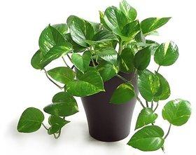 Mini Money Plant