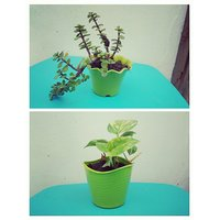 Good Luck Plants Combo/ Lucky Feng Shui Plants Combo / Green Jade Crassula and Golden Money Plant (Pots Included)