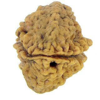 2 Mukhi (Face) Rudraksha south Indian Collection