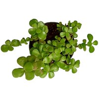 Green Jade Crassula Lucky Feng Shui Plant (Pot included), Good Luck Plant