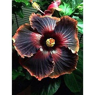 Buy Azalea Garden Black Rainbow Giant Hibiscus Flower Seeds Garden