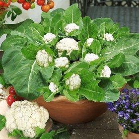CAULIFLOWER SEEDS Brassica oleracea  TOTAL 400 SEEDS
