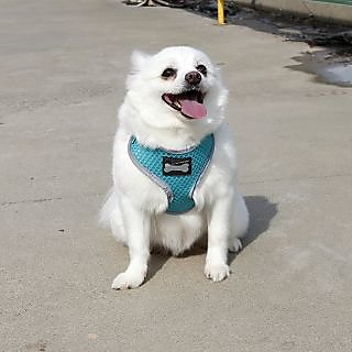 Dog Body Harness for Pom  Pugs or small baby pups