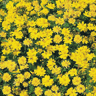 Seeds Magnifico Cosmos Flowers Yellow Mixed - Premium Exotic Seeds For Home Garden - Pack of 30 Seeds