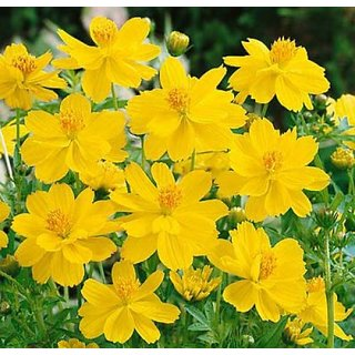 Magnifico Yellow Mixed Cosmos Flower Super Seeds - Pack of 30 Seeds