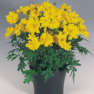 Yellow Mixed Cosmos Flower Fine Quality Seeds - Pack of 30 Seeds