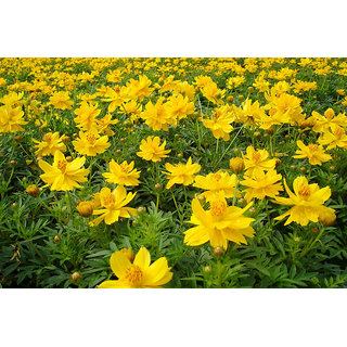 Seeds Magnifico Yellow Mixed Cosmos Flower Plus Quality Seeds For Home Garden - Pack of 30 Seeds
