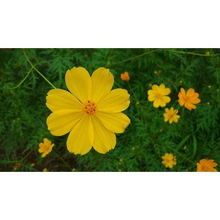 Seeds Yellow Mixed Cosmos Flower Super Flowers Seeds - Pack of 30 Seeds