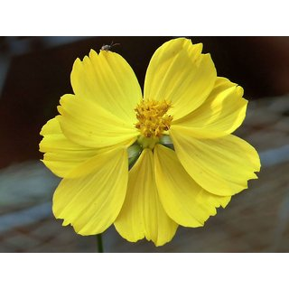 Cosmos Yellow Mixed Flower - Exotic Seeds for Home Garden - Pack of 30 Seeds