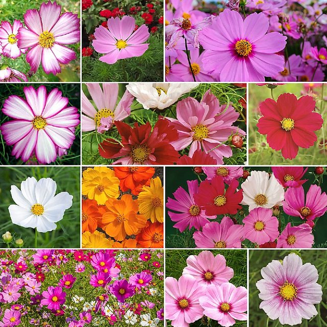 Buy Seeds Magnifico Mixed Colour Cosmos Flower Better Germination ...