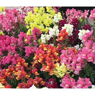 Anthrinium (Snap Dragon) Flowers Hybrid Seeds - Pack of 50 Seeds