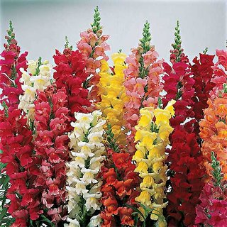 Seeds Anthrinium (Snap Dragon) Flowers Super Seeds - Pack of 50 Seeds