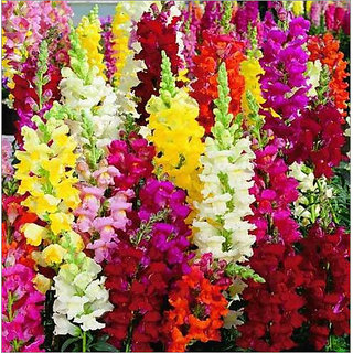 Buy Seeds Magnif Anthrinium (Snap Dragon) Flowers Super Advanced Seeds - Pack of 50 Seeds Online - Get 38% Off