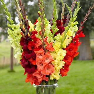 Seeds Anthrinium (Snap Dragon) Multi-Colour Flowers Super Flowers Seeds - Pack of