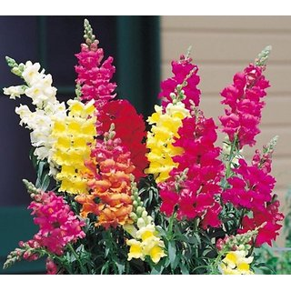 Buy Seeds Magnif Anthrinium (Snap Dragon) Multi-Colour Flowers Quality Flowers Seeds - Pack of 50 Seeds Online - Get 34% Off