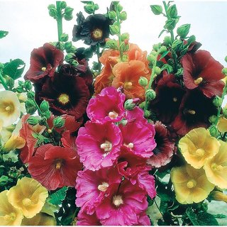 Hollyhock Mixed Colour Flowers Seeds - Pack of 40 Seeds