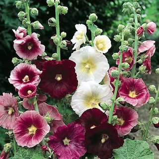 Seeds Hollyhock Mixed Colour Flowers Super Quality Flowers Seeds - Pack of 40 Seeds