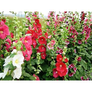 Seeds Hollyhock Mixed Colour Flowers 2x Quality Seeds For Home Garden - Pack of 40 Seeds