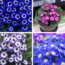 Cineraria Mixed Colour Flowers All Need Seeds  For Home Garden - Pack of 50 Seeds