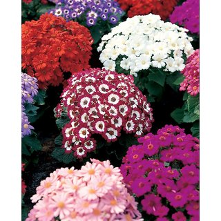 Seeds Cineraria Flowers Fast Germination Seeds For Home Garden - Pack of 50 Seeds
