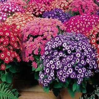 Magnif Cineraria Flowers Double Quality Seeds For Home Garden - Pack of 50 Seeds