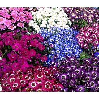 Magnif Cineraria Flowers Fast Germination Seeds - Pack of 50 Seeds