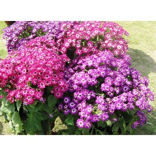 Seeds Cineraria Flowers Quality Seeds for Home Garden - Pack of 50 Seeds