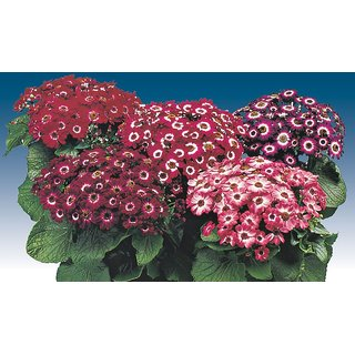 Seeds Magnif Cineraria Flowers Hybrid Exotic Seeds  For Home Garden - Pack of 50 Seeds