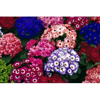 Cineraria Multi-Colour Flowers Hybrid Seeds - Pack of 50 Seeds
