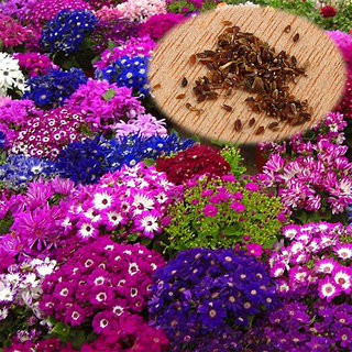 Magnif Cineraria Multi-Colour Flowers Quality Seeds - Pack of 50 Seeds