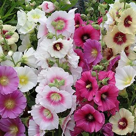 Hollyhock Multi-Colour Flowers Fast Germination Seeds For Home Garden - Pack of 40 Seeds