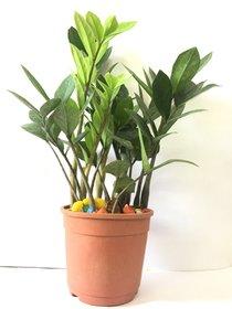 Black Gold Zamioculcas Zamifolia Indoor Plant(ZZ Plant)