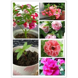 Seeds Balsam Multi-colour Flowers Fast Germination Seeds - Pack of 30 Seeds
