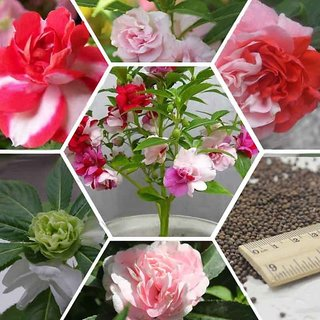 Seeds Balsam Multi Colour Flowers *Brother of ROSE* High Germination Seeds - Pack of 30 Seeds