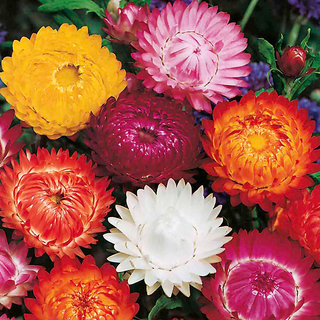 Seeds R-DRoz Helichrysum Mixed Colour Flowers- Seeds  For Home Garden - Pack of 35 Seeds