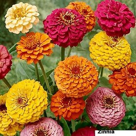 Zinnia Mixed Colour Flowers - Hybrid Flowers Seeds - Pack of 30 High Germination Seeds