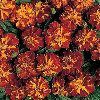 Flower Seeds : Dainty Marietta French Marigold Flower Seeds Flower Seeds For Home Decor (17 Packets) Garden Plant Seeds By Creative Farmer