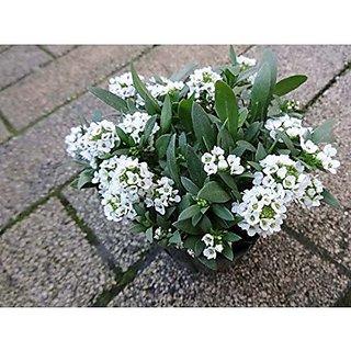 Flower Seeds : Alyssum Carpet Of Snow Seeds Garden Balcony (5 Packets) Garden Plant Seeds By Creative Farmer