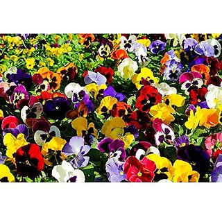 Flower Seeds : Heartsease Pansy Garden Seeds For Flower Plants Organic Seeds (18 Packets) Garden Plant Seeds By Creative Farmer